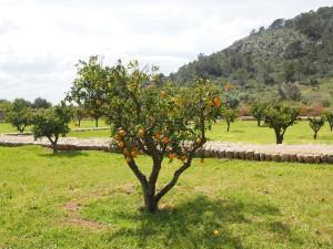 orange-tree-1117510_1920